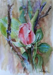 Rose by danuta50
