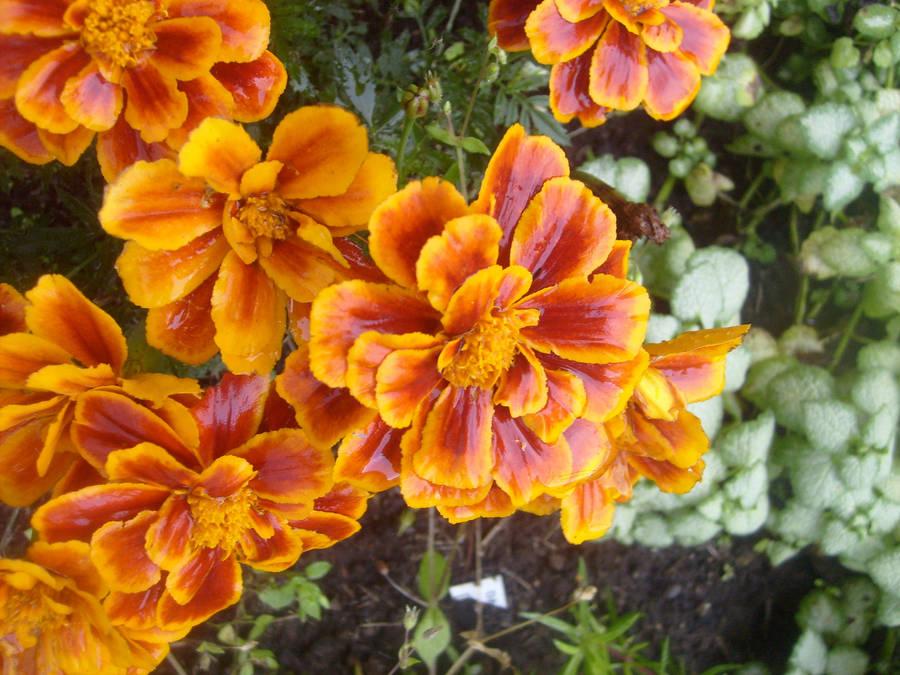 Pretty Orange Flowers By Gooble34 On Deviantart