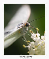 Pieris rapae by livinginoblivion