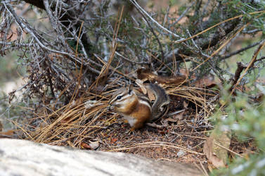 Chipmunk in Zion Nationalpark by phxch