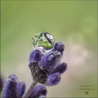 A droplet of lavender by AnnaKirsten