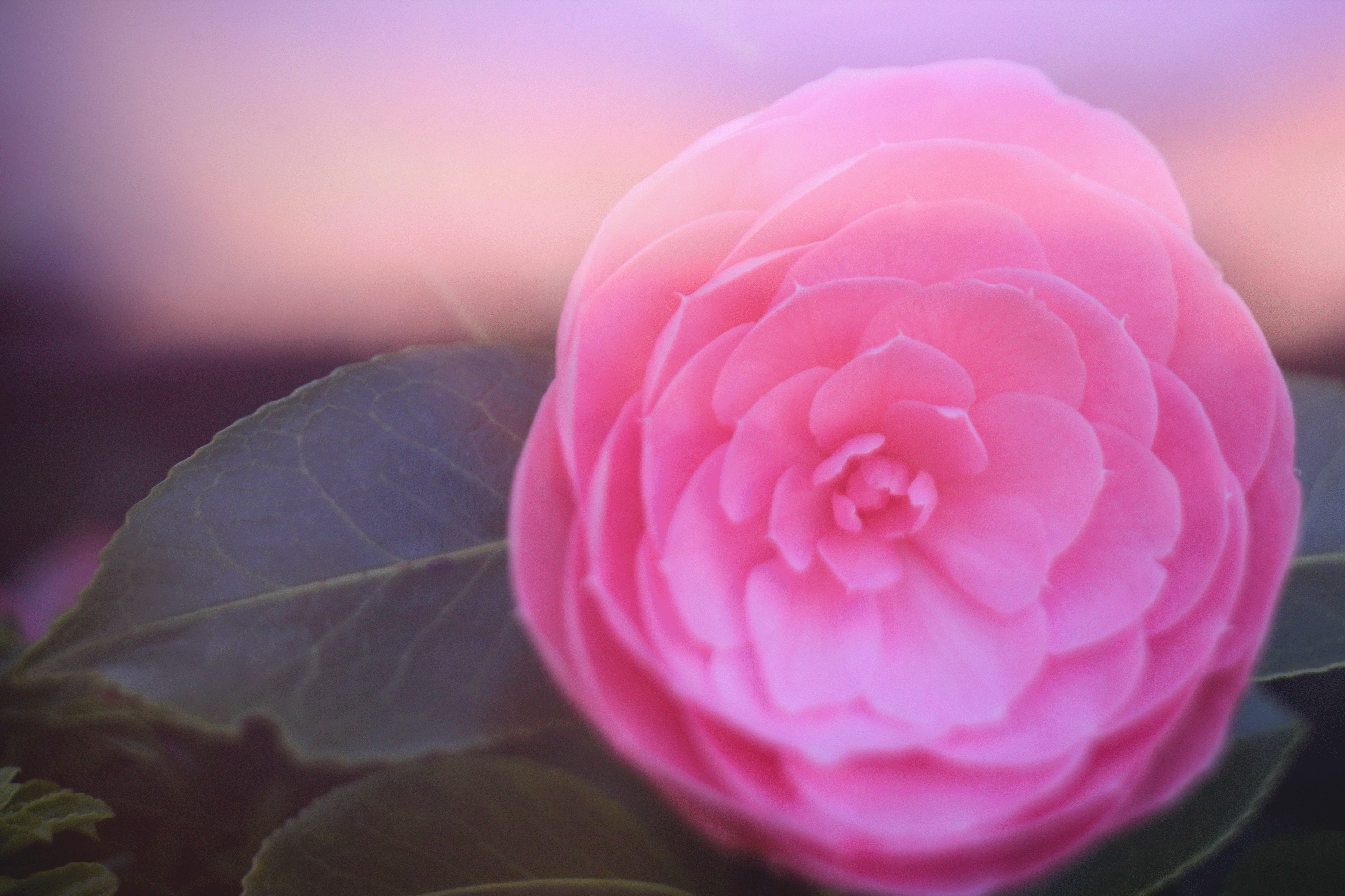 Pink Ranunculus 2 by todaywiththeCJB