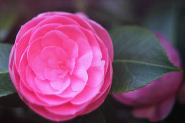 Pink Ranunculus 4 by todaywiththeCJB