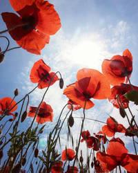 poppy paradise by eperlekvar