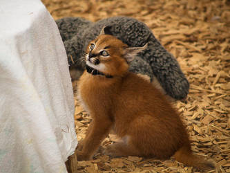 Game Park: Baby Caracal by j-ouroboros