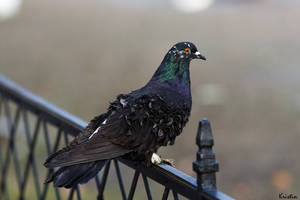 Waiting pigeon by KristinCross