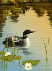 Common Loon by Shorra
