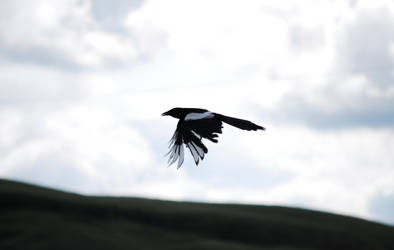 Fly Magpie Fly by BloodyRegret17