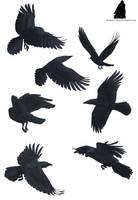Crow Tattoo by Kashidoodles