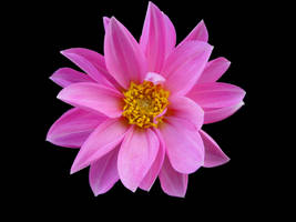 Pink Flower by Livinus