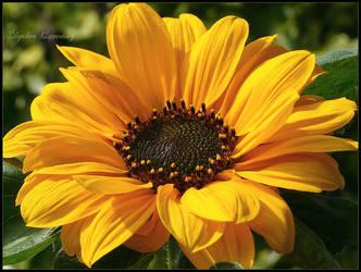 sunflower by Ingelore