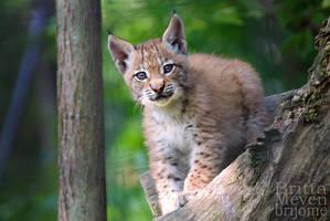 Lynx cub by brijome