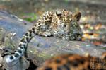 Leopard cub by brijome