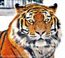Winter tiger by brijome