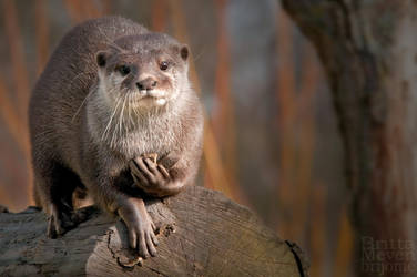 Otter1 by brijome