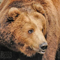 brown bear by brijome