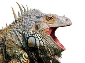 Iguana photo 2 by Swordsdragon