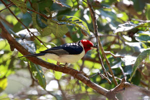 Red-cowled Cardinal by boanergesjr