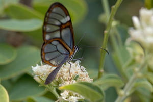 Glasswing butterfly (2) by boanergesjr