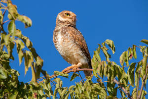 Another owl, another couple by boanergesjr