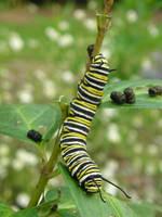 Monarch Caterpillar 5 by CASPER1830