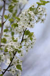 White Blossoms by CASPER1830