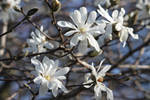 Star Magnolia 3 by CASPER1830