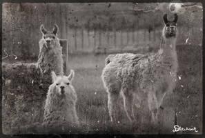 Llamas by ditchcock
