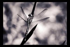 Dragonfly Noir by dakotapearl