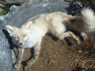 Fire Ice Fox soft mount SOLD by Tricksters-Taxidermy