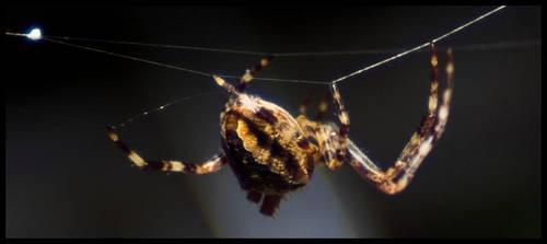 Spider 4 by GCsabai