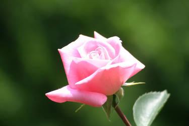 Flower 1 by GCsabai