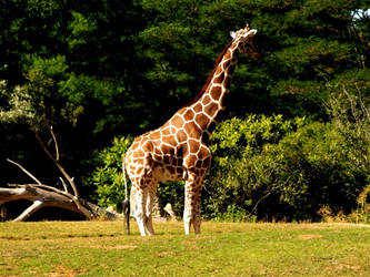 Zoo Trip Giraffe 2 by the-astronaut