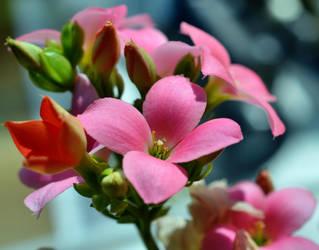 Soft Pink by Finnyanne