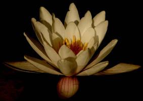 Waterlily by Finnyanne