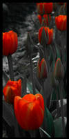 tulips by catbecause