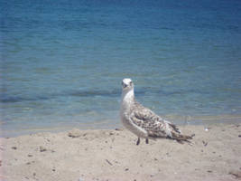 Seagull 2 by Estherthequiet