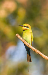 Bee Eater by riscy
