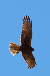 Female Swamp Harrier by riscy