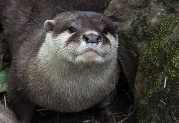 grumpy otterface. by Harpyimages