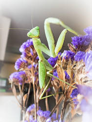 Mantis are rather wonderful by Harpyimages