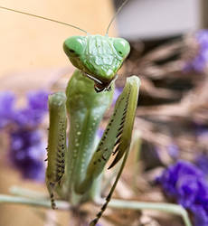 Mantis by Harpyimages