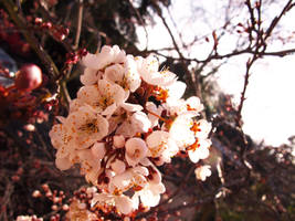 Bunch of Plum Blossoms by princessmoony