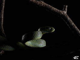 Green cat snake_Boiga cyanea by jitspics