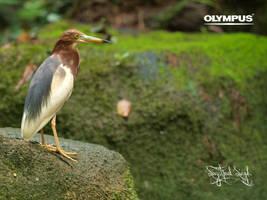 P5248625 - Chinese Pond Heron by jitspics