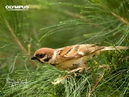 P3150417 Tree Sparrow by jitspics
