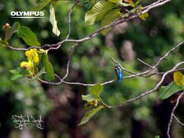 PA110220 Common kingfisher by jitspics