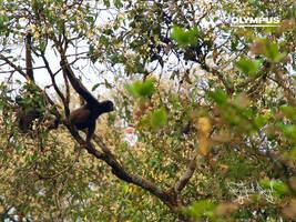 Borneon Gibbon by jitspics