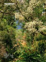 Flowering Dipterocarpus Tree by jitspics