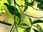 P4209318_Lesser Green Leafbird by jitspics